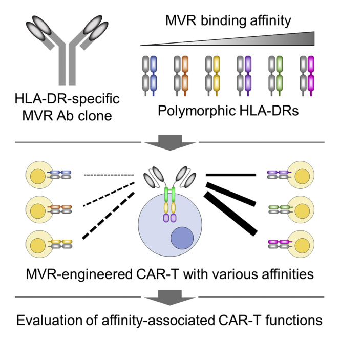 Polymorphic Region-Specific Antibody for Evaluation of Affinity-Associated Profile of Chimeric Antigen Receptor.